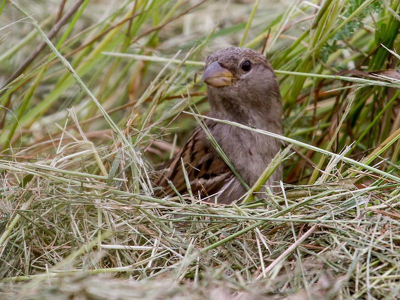Gråspurv / House Sparrow <br /> Linnesstranda, Lier 07.07.2012<br /> Canon EOS 7D + EF 100-400 mm 4,5-5,6 L
