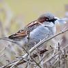 Gråspurv / House Sparrow<br /> Linnesstranda, Lier 7.3.2015<br /> Canon EOS 7D Mark II + Tamron 150 - 600 mm 5,0 - 6,3