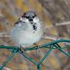 Gråspurv / House Sparrow<br /> Linnesstranda, Lier 8.2.2015<br /> Canon EOS 7D Mark II + Tamron 150 - 600 mm 5,0 - 6,3