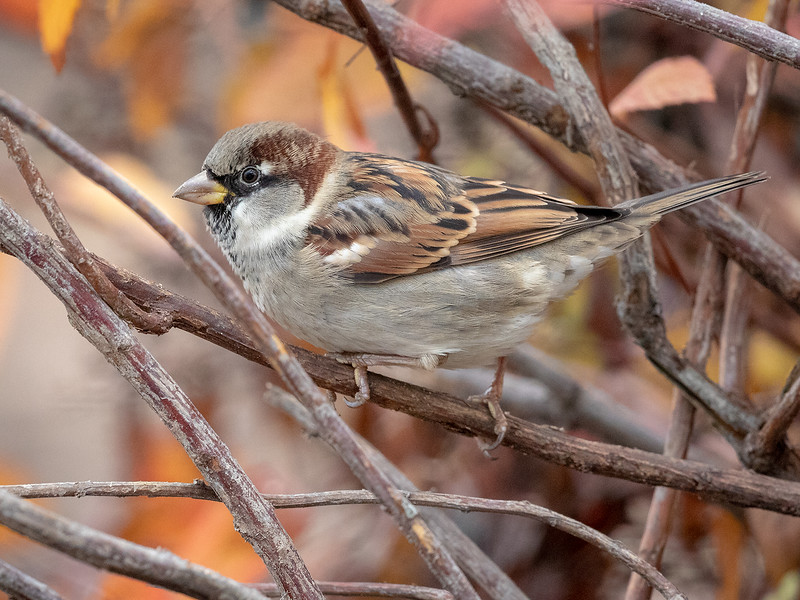 Gråspurv / House Sparrow<br /> Jensvoll, Lier 3.11.2018<br /> Canon 5D Mark IV + Canon EF 500mm f/4L IS II USM + 1.4x Ext III