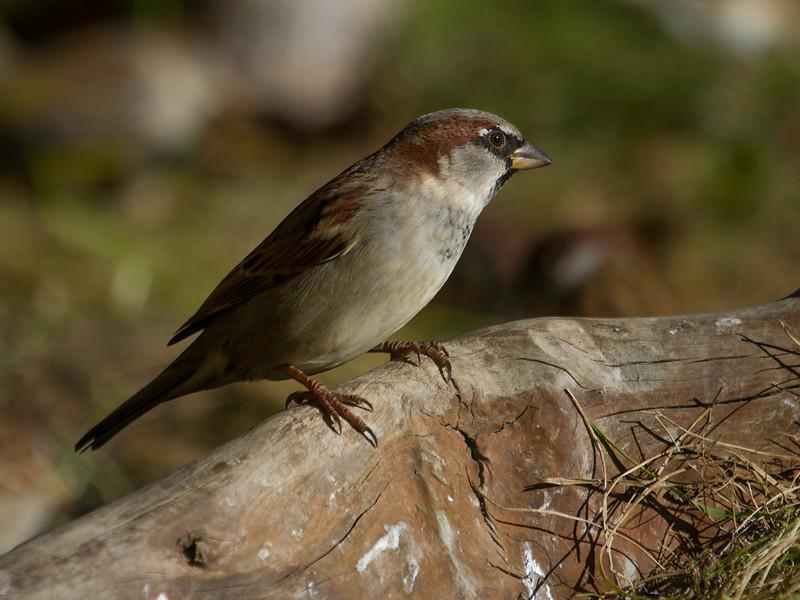 Gråspurv / House Sparrow<br /> Jensvoll, Lier 12.10.2013<br /> Canon EOS 7D + EF 100-400 mm 4,5-5,6 L