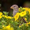 Gråspurv / House Sparrow<br /> Linnesstranda, Lier 31.8.2014<br /> Canon EOS 7D + Tamron 150 - 600 mm 5,0 - 6,3