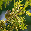 Grønnfink / European Greenfinch <br /> Linnesstranda, Lier 16.8.2014<br /> Canon EOS 7D + Tamron 150 - 600 mm 5,0 - 6,3