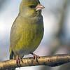 Grønnfink / European Greenfinch <br /> Linneslia, Lier 21.3.2005<br /> Canon EOS 20D + EF 200 mm 2,8 L + Extender 1,4 x