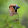 Kjernebiter / Hawfinch <br /> Linneslia, Lier 22.5.2010<br /> Canon 5D Mark IV + EF 500mm f/4L IS II USM + 1.4x Ext