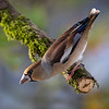 Kjernebiter / Hawfinch <br /> Linneslia, Lier 11.10.2020<br /> Canon 5D Mark IV + EF 500mm f/4L IS II USM