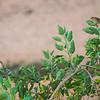 Kornspurv / Corn Bunting<br /> Fuerteventura, Kanariøyene 29.12.2012<br /> Canon EOS 7D + EF 100-400 mm 4,5-5,6 L