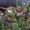 Pilfink / Eurasian Tree Sparrow <br /> Linnesstranda, Lier 12.8.2017<br /> Canon EOS 7D Mark II + Tamron 150 - 600 mm 5,0 - 6,3 G2