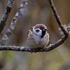 Pilfink / Eurasian Tree Sparrow<br /> Linnesstranda, Lier 29.9.2013<br /> Canon EOS 7D + EF 100-400 mm 4,5-5,6 L