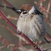 Pilfink / Eurasian Tree Sparrow <br /> Linnesstranda, Lier 10.4.2006<br /> Canon EOS 20D + EF 400 mm 5,6 L
