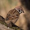 Pilfink / Eurasian Tree Sparrow <br /> Linnesstranda, Lier 29.10.2016<br /> Canon EOS 7D Mark II + Tamron 150 - 600 mm 5,0 - 6,3 G2