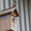 Pilfink / Eurasian Tree Sparrow <br /> Linnesstranda, Lier 11.4.2014<br /> Canon EOS 7D + Tamron 150 - 600 mm 5,6 - 6,3