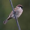 Pilfink / Eurasian Tree Sparrow <br /> Linnesstranda, Lier 7.10.2006<br /> Canon EOS 20D + EF 400 mm 5,6 L