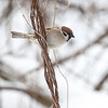Pilfink / Eurasian Tree Sparrow<br /> Linnesstranda, Lier 23.2.2013<br /> Canon EOS 5D Mark II + EF 100-400 mm 4,5-5,6 L
