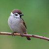 Pilfink / Eurasian Tree Sparrow <br /> Huseby, Lier 3.10.2020<br /> Canon 5D Mark IV + EF 500mm f/4L IS II USM + 1.4x Ext