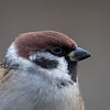 Pilfink / Eurasian Tree Sparrow <br /> Linnesstranda, Lier 3.11.2019<br /> Canon 5D Mark IV + EF 500mm f/4L IS II USM + 1.4x Ext