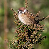 Pilfink / Eurasian Tree Sparrow <br /> Linnesstranda, Lier 30.10.2018<br /> Canon 5D Mark IV + EF 500mm f/4L IS II USM + 1.4x Ext