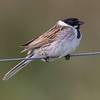 Sivspurv / Reed Bunting<br /> Lille Vildemose, Danmark 27.5.2015<br /> Canon 7D Mark II + Tamron 150 - 600 mm 5,0 - 6,3