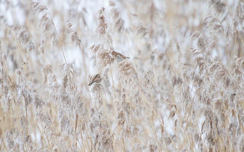 Sivspurv / Reed Bunting<br /> Linnesstranda, Lier 20.1.2013<br /> Canon EOS 7D+ EF 100-400 mm 4,5-5,6 L