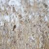 Sivspurv / Reed Bunting<br /> Linnesstranda, Lier 20.1.2013<br /> Canon EOS 7D + EF 100 - 400 mm 4,5-5,6 L