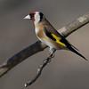 Stillits / European Goldfinch <br /> Linneslia, Lier 17.3.2007<br /> Canon EOS 20D + EF 400 mm 5,6 L