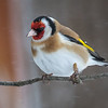 Stillits / European Goldfinch<br /> Kvismaren, Sverige 14.4.2017<br /> Canon 7D Mark II + Tamron 150 - 600 mm 5,0 - 6,3 G2