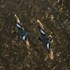 Brunnakke / Eurasian Wigeon<br /> Linnesstranda, Lier 20.4.2013<br /> Canon EOS 7D + EF 100-400 mm 4,5-5.6 L