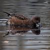 Brunnakke / Eurasian Wigeon <br /> Sætre, Hurum 15.10.2011<br /> Canon EOS 7D + EF 400 mm 5.6 L
