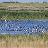 Grågås / Greylag Goose<br /> Vidå sluse, Vadehavet, Danmark 16.7.2014<br /> Canon EOS 7D + Tamron 150 - 600 mm 5,0 - 6,3