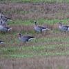 Grågås / Greylag Goose<br /> Vinnes, Nedre Eiker 21.9.2014<br /> Canon EOS 5D Mark II + Tamron 150 - 600 mm 5,0 - 6,3