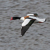 Gravand / Common Shelduck <br /> Linnesstranda, Lier 3.5.2015<br /> Canon 7D Mark II + Tamron 150 - 600 mm 5,0 - 6,3