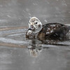 Havelle / Longtailed Duck<br /> Linnesstranda, Lier 5.11.2016<br /> Canon 7D Mark II + Tamron 150 - 600 mm 5,0 - 6,3 G2 @ 483 mm