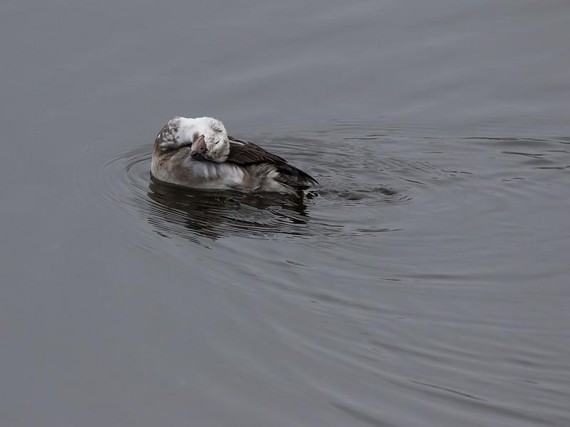 Havelle / Longtailed Duck<br /> Linnesstranda, Lier 6.11.2016<br /> Canon 7D Mark II + Tamron 150 - 600 mm 5,0 - 6,3 G2