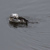 Havelle / Longtailed Duck<br /> Linnesstranda, Lier 6.11.2016<br /> Canon 7D Mark II + Tamron 150 - 600 mm 5,0 - 6,3 G2