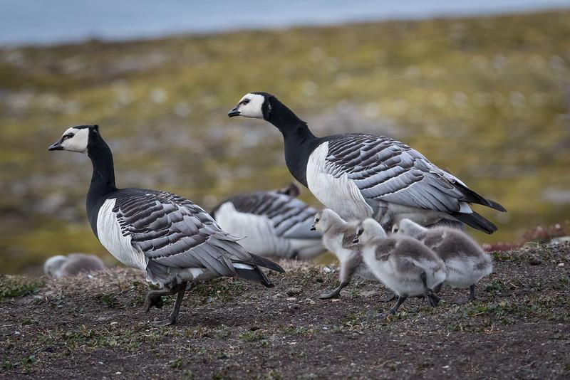 Hvitkinngås / Barnacle Goose<br /> Longyearbyen, Svalbard  8.7.2016<br /> Canon 7D Mark II + Tamron 150 - 600 mm 5,0 - 6,3 @ 375 mm