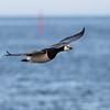 Hvitkinngås / Barnacle Goose<br /> Øland, Sverige 22.5.2009<br /> Canon EOS 50D + EF 400 mm 5,6 L