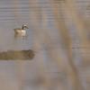 Knekkand / Garganey <br /> Linnesstranda, Lier 5.5.2006<br /> Canon EOS 20D + EF 400 mm 5,6 L