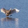 Knoppsvane / Mute Swan<br /> Linnesstranda, Lier 25.10.2014<br /> Canon EOS 7D + Tamron 150 - 600 mm 5,0 - 6,3