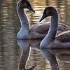 Knoppsvane / Mute Swan<br /> Linnesstranda, Lier 21.11.2009<br /> Canon EOS 50D + EF 400 mm 5.6 L