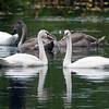 Knoppsvane / Mute Swan<br /> Sætre, Hurum 7.9.2014<br /> Canon EOS 7D + Tamron 150 - 600 mm 5,0 - 6,3 @ 450 mm