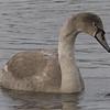 Knoppsvane / Mute Swan<br /> Drammen, 27.3.2006<br /> Canon EOS 20D + EF 400 mm 5,6 L