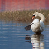Knoppsvane / Mute Swan<br /> Linnesstranda, Lier 8.5.2011<br /> Canon EOS 50D + EF 400 mm 5,6 L