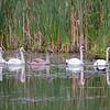 Knoppsvane / Mute Swan<br /> Sætre, Hurum 7.9.2014<br /> Canon EOS 7D + Tamron 150 - 600 mm 5,0 - 6,3 @ 500 mm