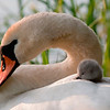 Knoppsvane / Mute Swan<br /> Linnesstranda, Lier 15.6.2005<br /> Canon EOS 20D + EF 400 mm 5,6 L