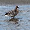 Kortnebbgås / Pinkfooted Goose <br /> Linnesstranda, Lier 23.5.2010<br /> Canon 7D Mark II + Tamron 150 - 600 mm 5,0 - 6,3