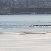 Gjess / Geese<br /> Linnesstranda, Lier 9.4.2013<br /> Canon EOS 7D + EF 100-400 mm 4,5-5,6 L
