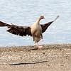Kortnebbgås / Pinkfooted Goose <br /> Linnesstranda, Lier 23.5.2010<br /> Canon EOS 50D + EF 400 mm 5.6 L