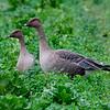 Kortnebbgås / Pinkfooted Goose<br /> Linnesstranda, Lier 25.10.2008<br /> Canon EOS 20D + EF 400 mm 5.6 L