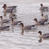 Kortnebbgås / Pinkfooted Goose <br /> Linnesstranda, Lier 9.4.2009<br /> Canon EOS 50D + EF 400 mm 5.6 L