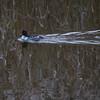 Kvinand / Common Goldeneye<br /> Linnesstranda, Lier 19.10.2013<br /> Canon EOS 7D + EF 100-400 mm 4,5-5,6 L
